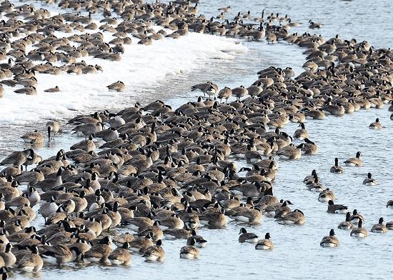 021914 winter waterfowl