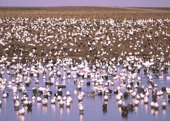 031914 spring light geese