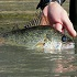 Should There Be A Minimum Length Limit For Walleye Fishing?