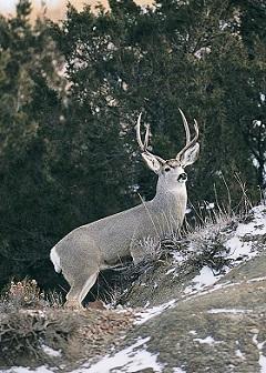 052814 mule deer buck (1)