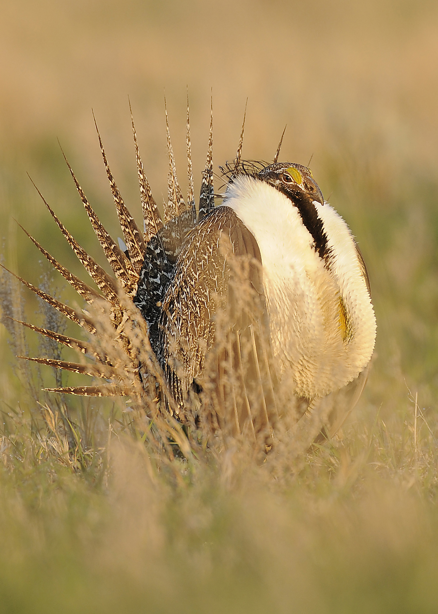 071614 sage grouse