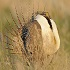 2014 Sage Grouse Hunting Season Called Off