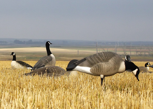 082714 early goose