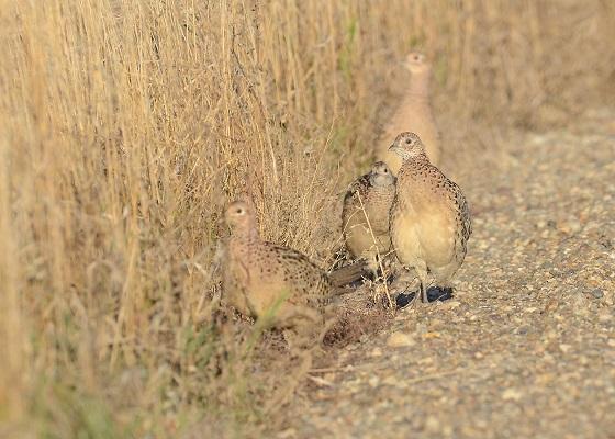 100213 roadside pheasants