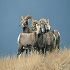 Bighorn Sheep Population & Gun Season in North Dakota