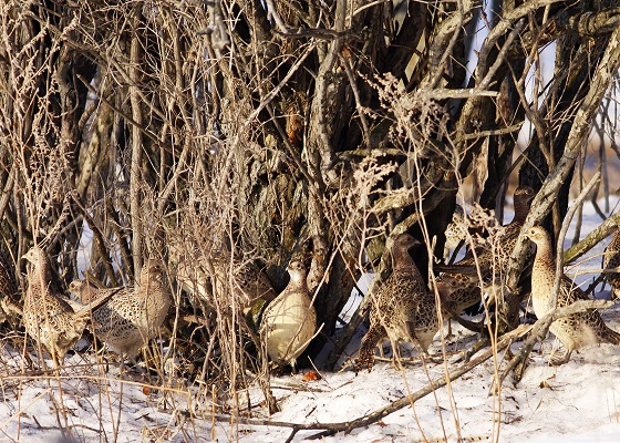 121013 pheasants need good cover to survive winter