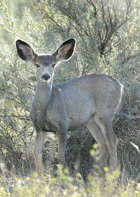 The Game and Fish Department's fall mule deer survey indicates an improving population following several harsh winters in recent years/ A mild winter would go a long way to helping that positive population trend continue.