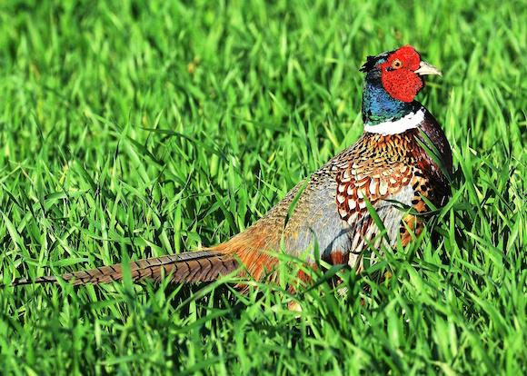 141231higher pheasant numbers