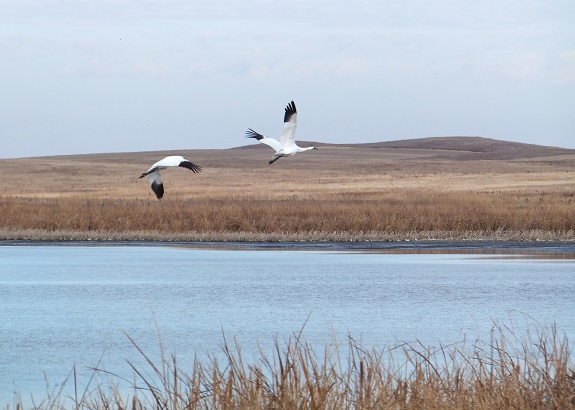 150415whoopers over ND wetland
