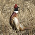 Pheasant Population Counts Up Statewide