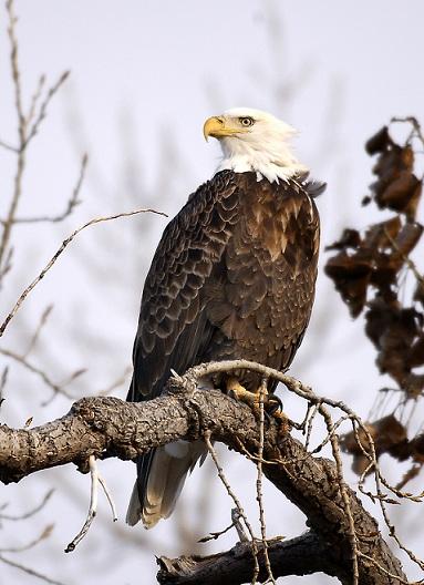 61 bald eagles
