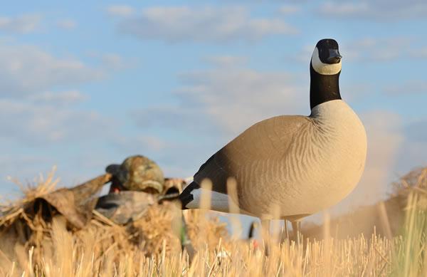 August Goose Hunting Opener