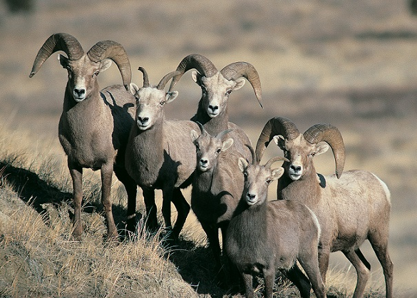 Spring bighorn sheep survey