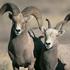 Eight North Dakota hunters ready for bighorn sheep season