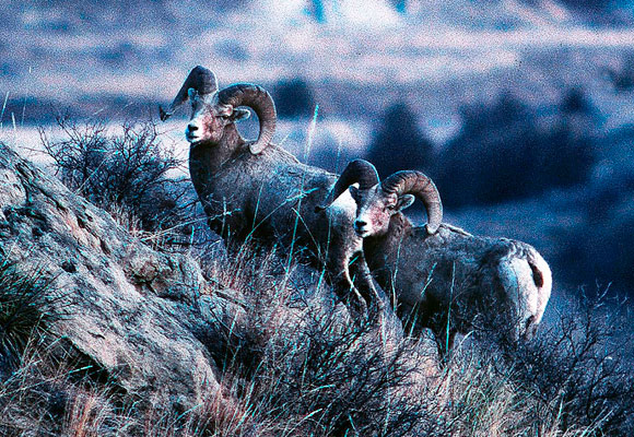 Bighorns in Badlands