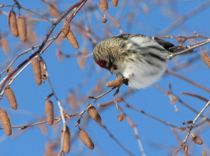 Birding in North Dakota