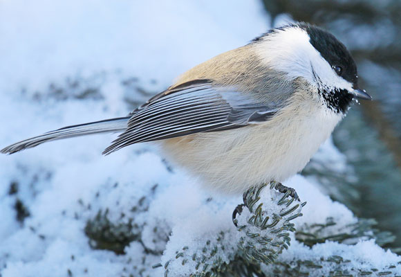 Chickadee Watchable Wildlife