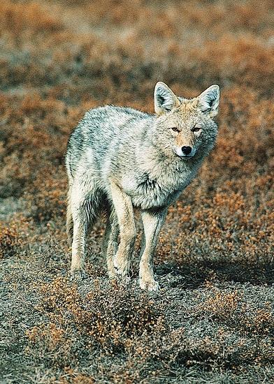 coyote catalog