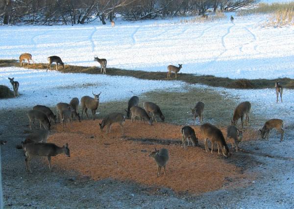 Deer Baiting