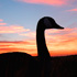 Early Canada Goose Season Opens August 15