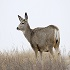 Big Game Transport Regulations to Prevent Spread of Chronic Wasting Disease