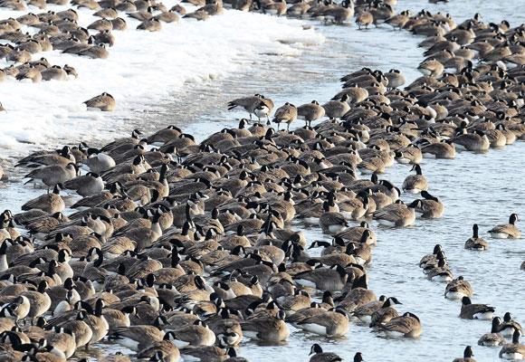 Geese Missouri River