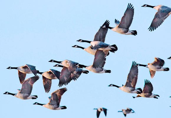 HIP Data Geese