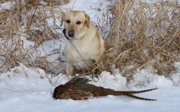 late season pheasant hunting