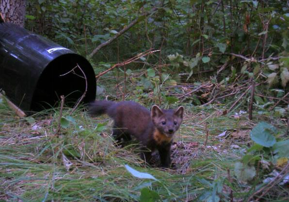 Tracking Martens, Fishers, and Otters
