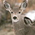 Two North Dakota deer test positive for CWD in 2016