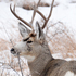 Deadline Looming for North Dakota Deer License Applications