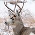 Deadline Looming for North Dakota Deer License Applications