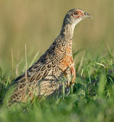 North-Dakota-Pheasant-Numbers