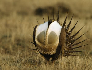 Hunting Sage Grouse