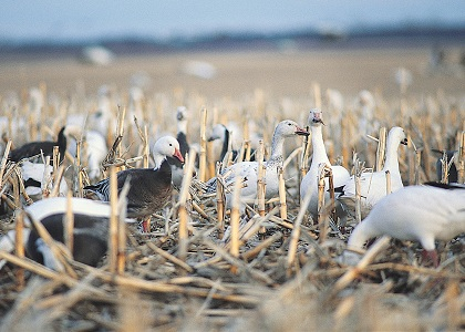 The spring snow goose season