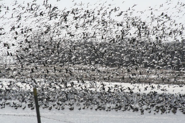 ND Spring Snow Geese