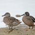 Duck Numbers Down Slightly in North Dakota