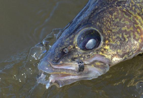 Tagged Walleye