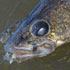 Tagged Walleyes Provide Valuable Information