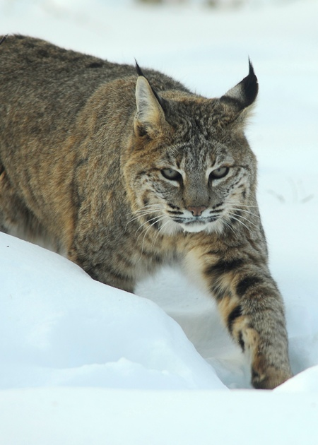 Trapping the Muskrat, Bobcats, Coyotes and other predators in ND