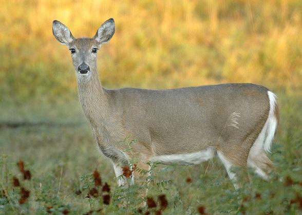 Deer Success