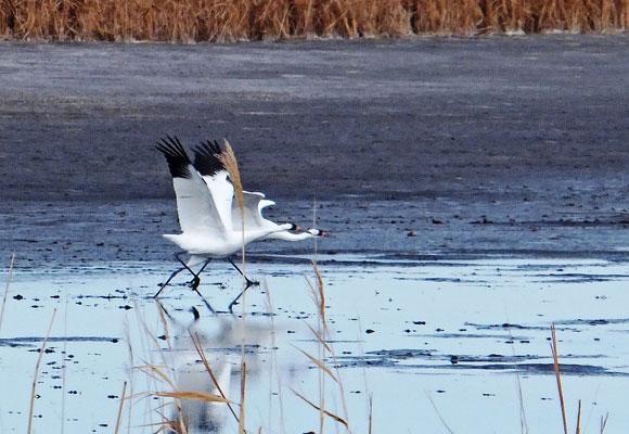 Whooping Cranes North Dakota